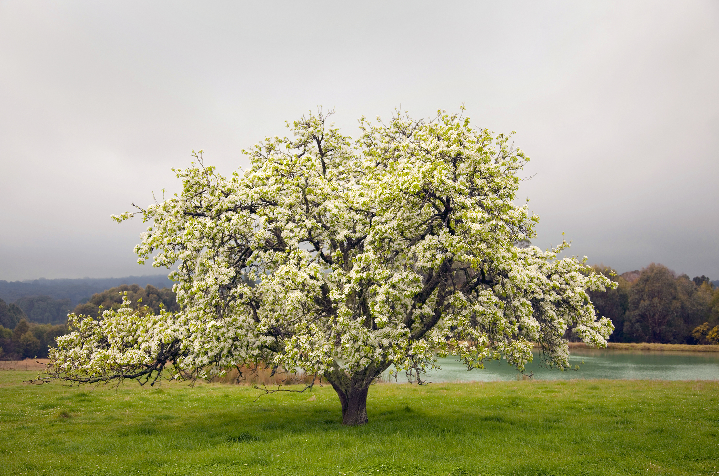 The Pear tree 2.jpg