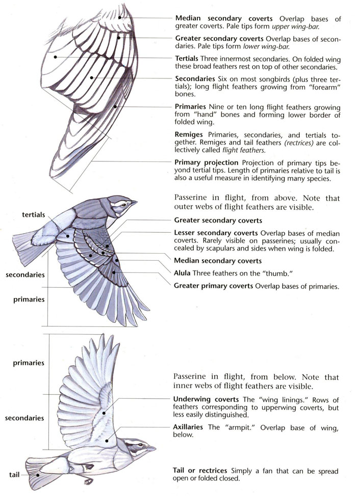 Bird Feather Groups (Sibley, 2000, p. 18)