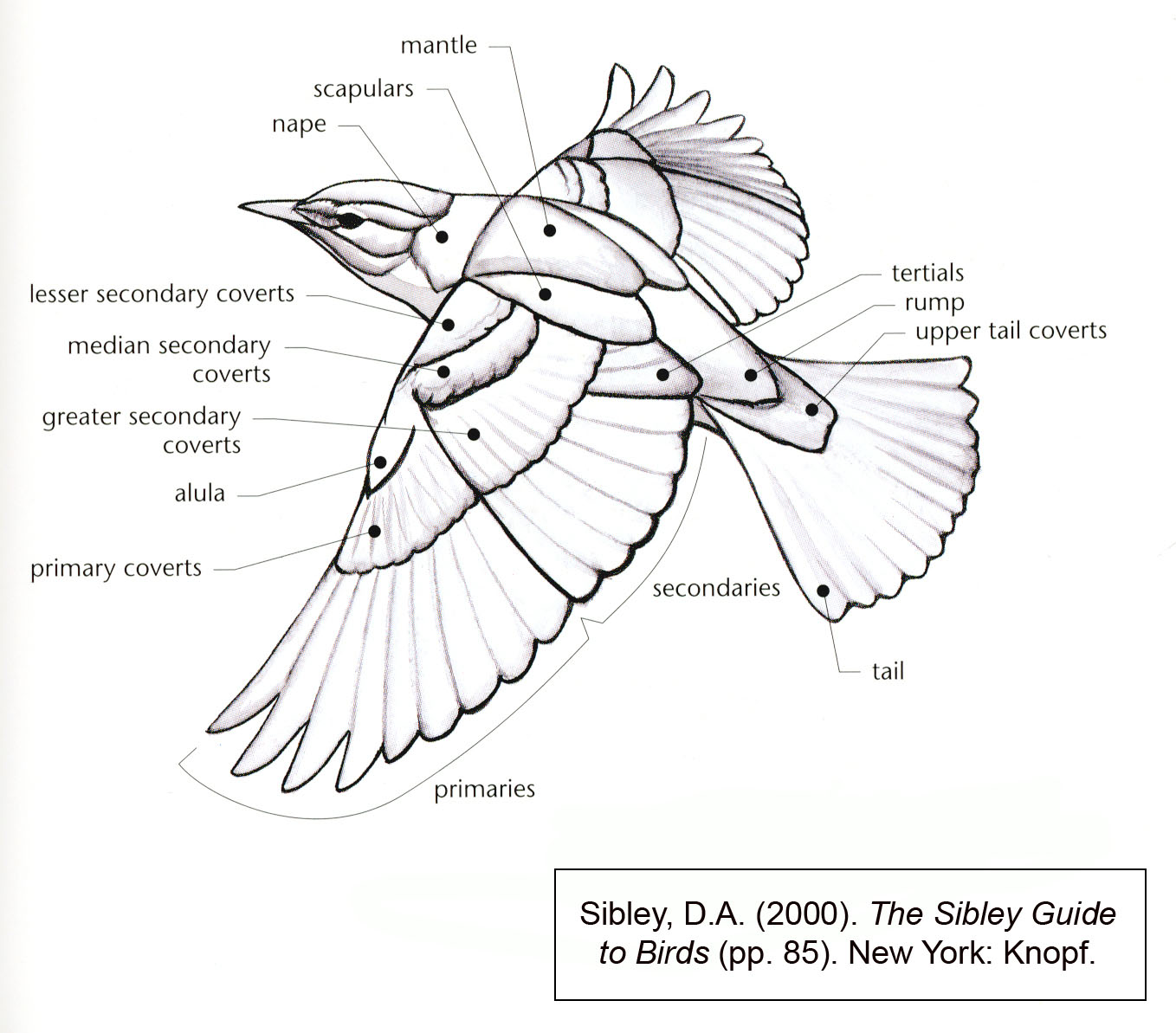 Anatomy of a birds wing, showing different feather groups.