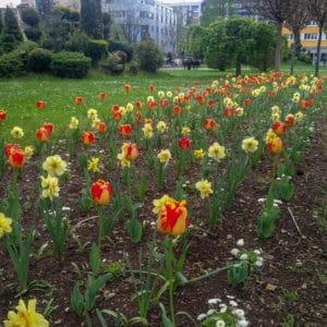 Banja Luka Tulip