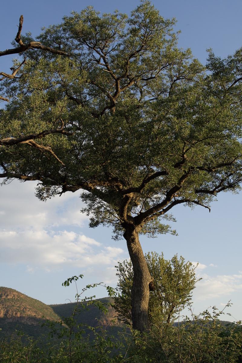 African+Bot+MArula+Tree+SMALL.jpg