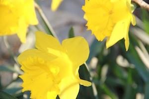 Magical daffodils bloom in late January