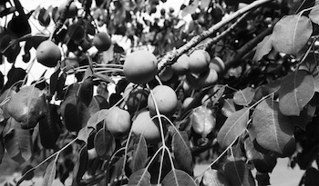 Marula fruits are overflowing with skin-loving oils & nutrients