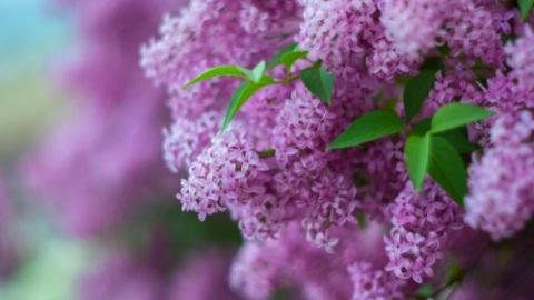 lilac-flowers-5cd9e2b5964d4-480x300.jpg