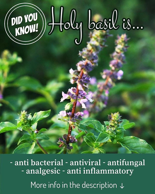 Holy Basil🌱  Benefits: •Reduce stress and anxiety. All parts of the holy basil plant act as an adaptogen. An adaptogen is natural substance that helps your body adapt to stress and promotes mental balance. •High in anti-oxidants and helps your body detox. Studies show that holy basil can protect your body against toxic chemicals. •Protect against infection and treat wounds. •Lower blood sugar •Lower cholesterol •Ease inflammation and joint pain ____ Also known as Ocimum tenuiflorum or Ocimum sanctum L. and Tulsi, Holy Basil is native to Southeast Asia. Different from the herb that you find in a lot of pho dishes, the different parts of the plant help treat a wide range of health benefits and conditions. ____  The suggested dosage ranges from 300 mg to 2,000 mg per day for general preventative purposes. When used as a treatment, the recommended dosage is 600 mg to 1,800 mg taken in multiple doses throughout the day.  ____ 🚨Fun Fact! Holy Basil may also prevent cancer by reducing the growth of cancerous cells.🤯 ____  We are not medical professionals so please consult your doctor before taking any supplements as some may interfere with health conditions or medications.  ____  Your #1 Natural Supplement store in Seattle. Come by the store in person in the Pike Place Market! ____ 📞Have more questions? Give us a call at (206)623-2231 or visit us online at Pikeplacenutrition.com