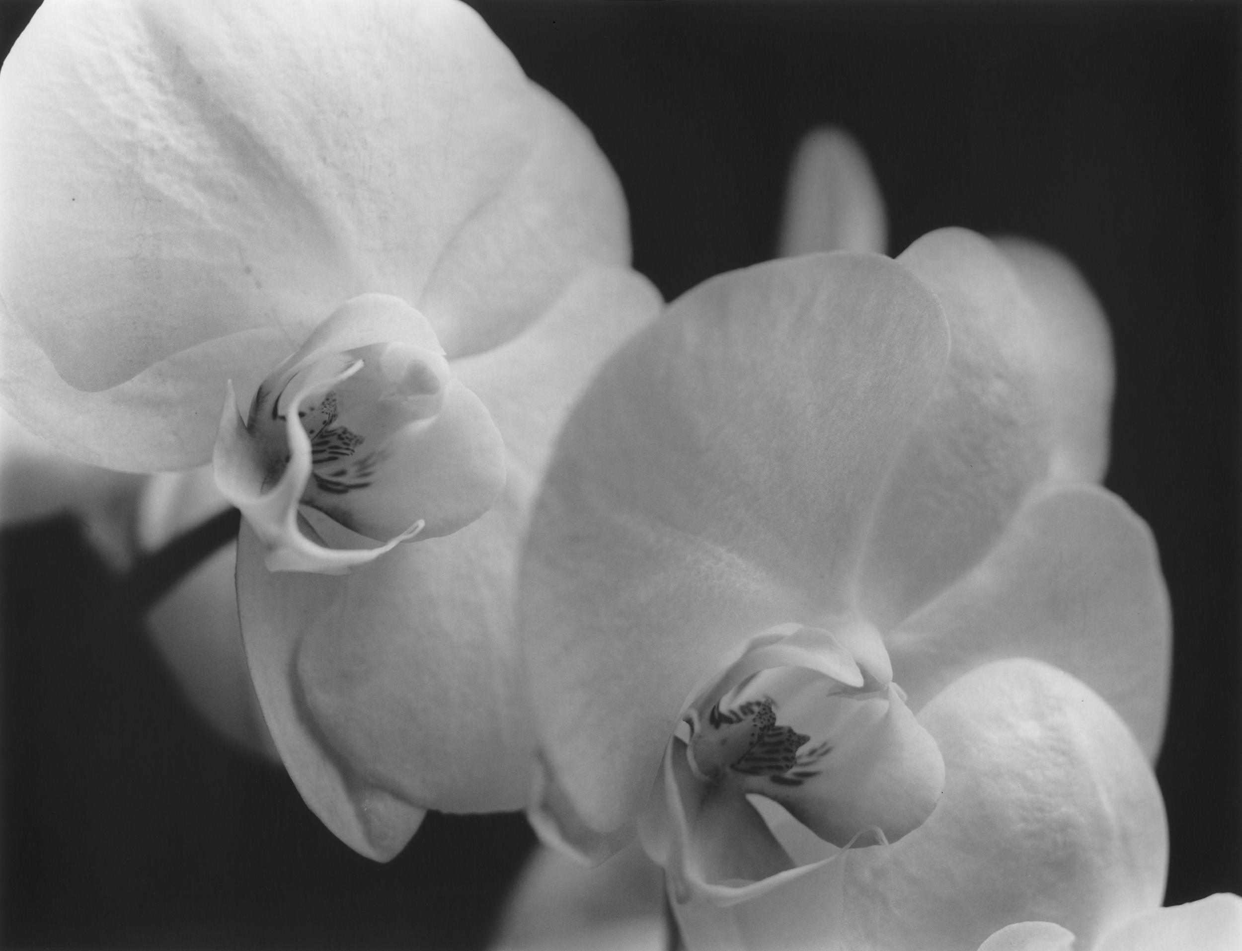 L'orchidée en noir et blanc