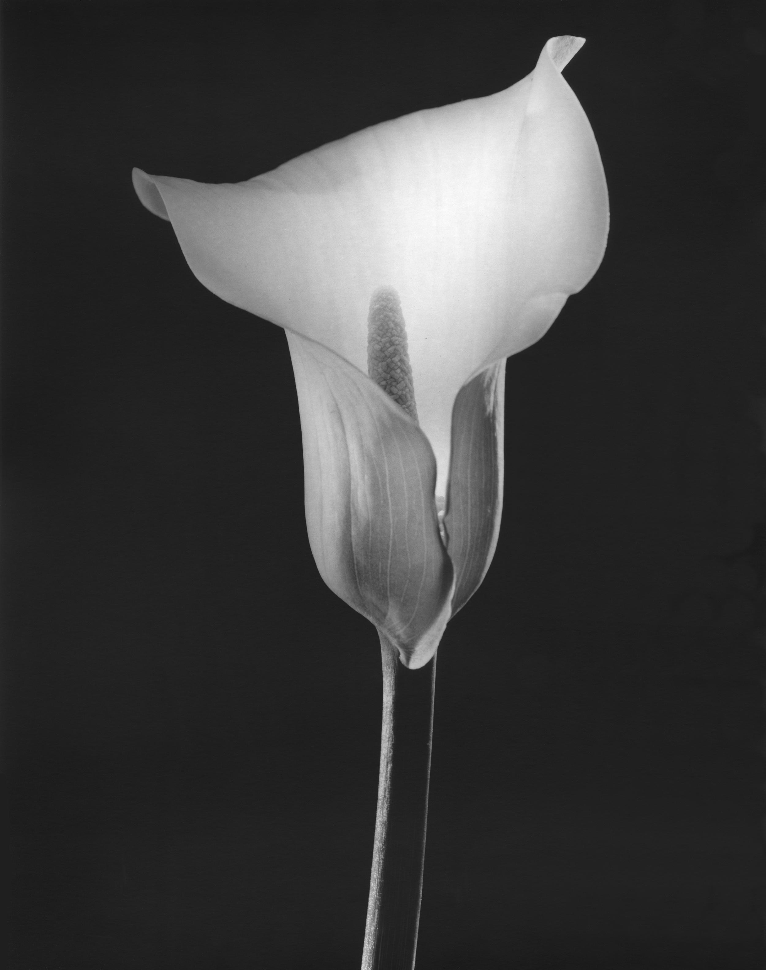 Le lys en noir et blanc