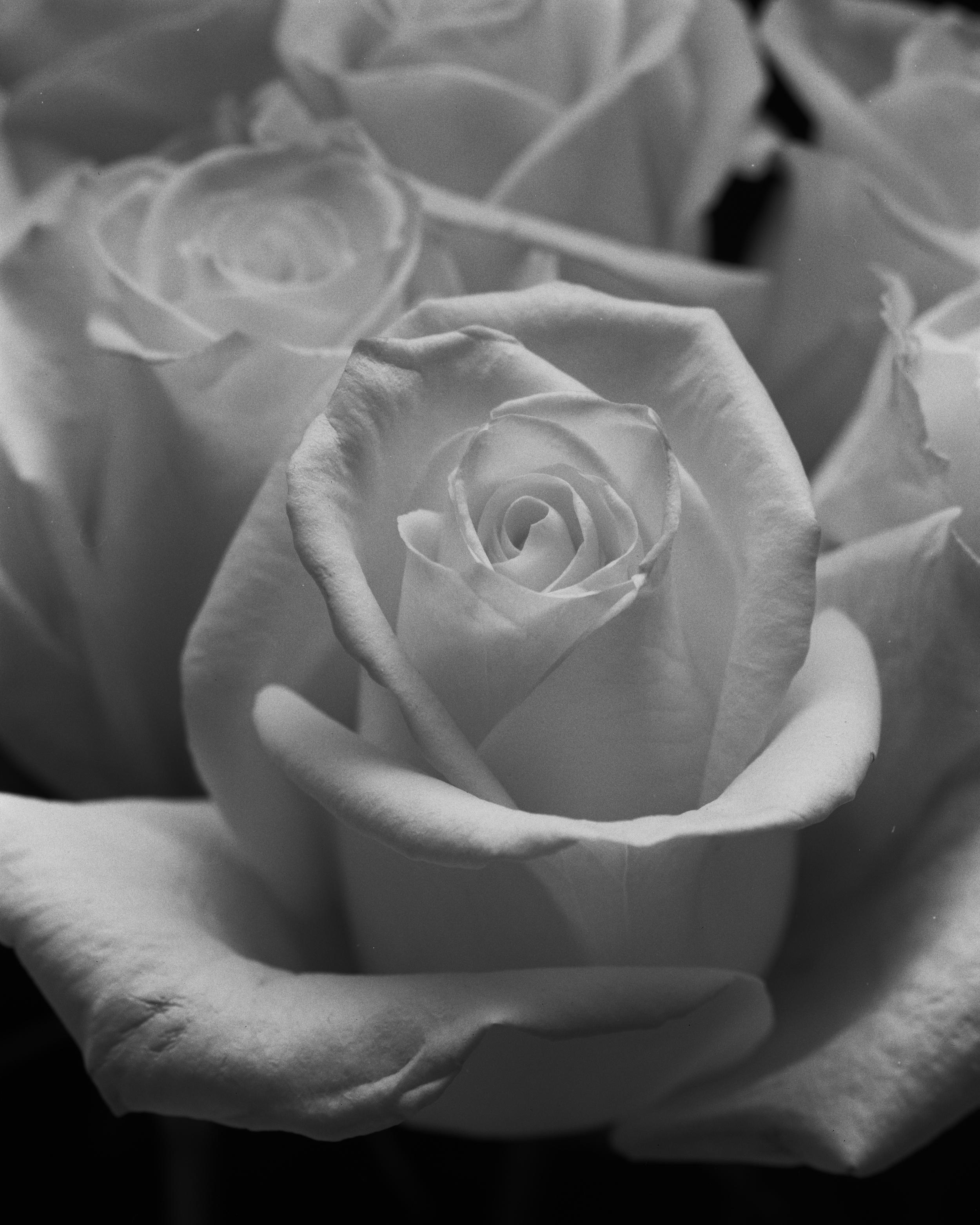La rose en noir et blanc