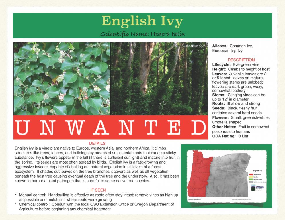 English-Ivy-994x768.png