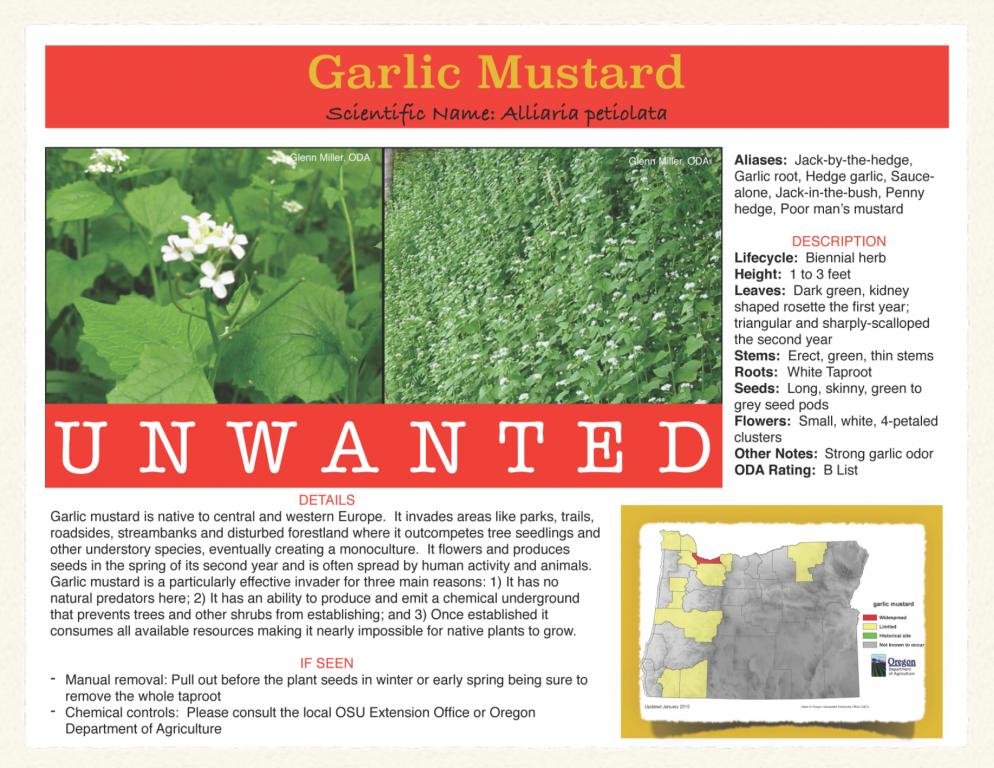 Garlic-Mustard-994x768.png