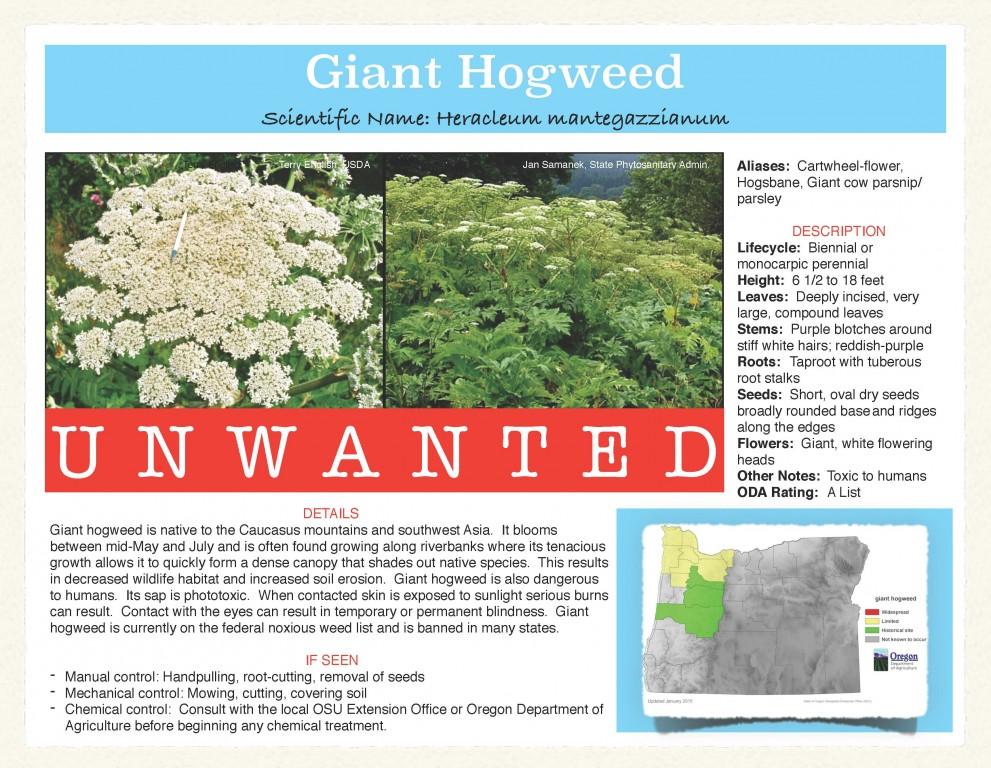 Giant-Hogweed-991x768.jpg