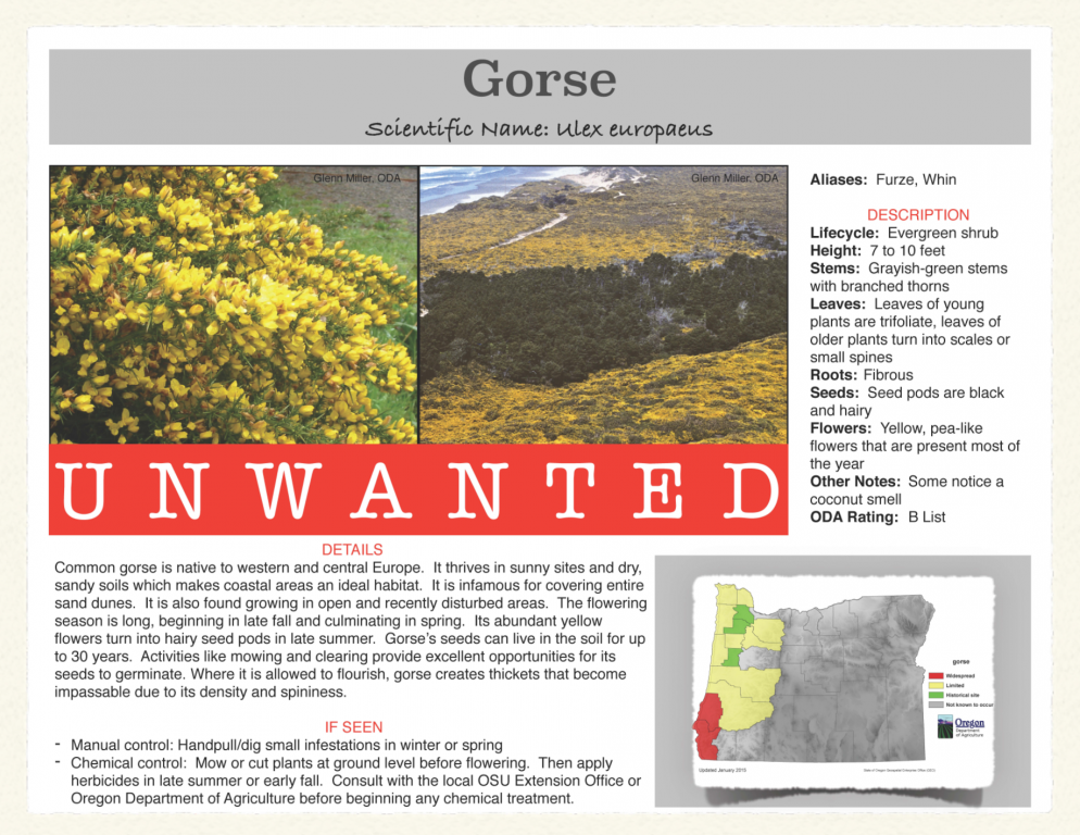 Gorse-994x768.png