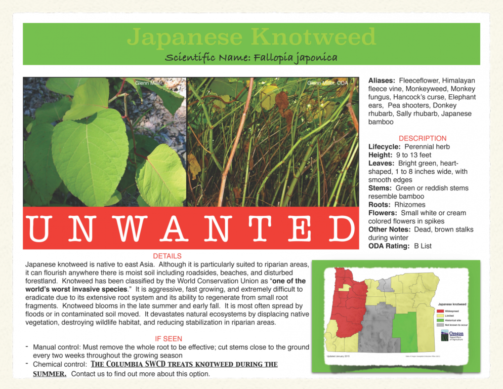 Japanese-Knotweed-994x768.png
