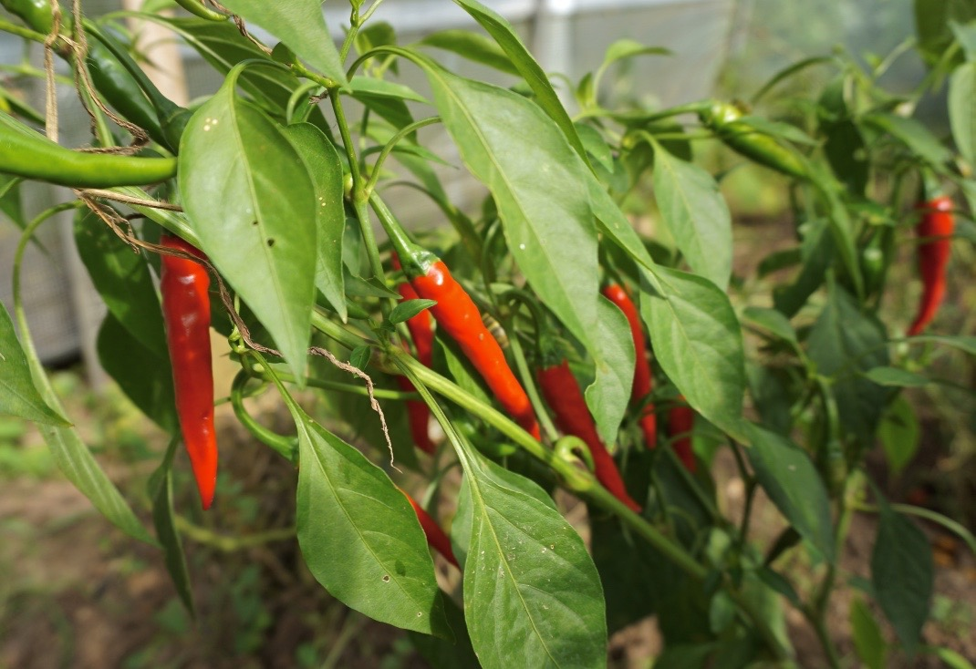 Chilies form the vegetable garden at Tourné