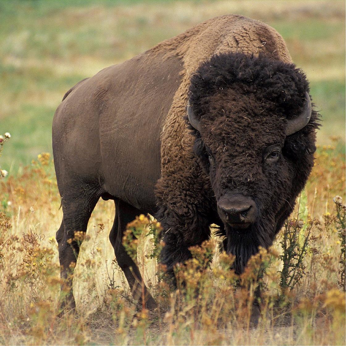 bison-526805_1280.jpg