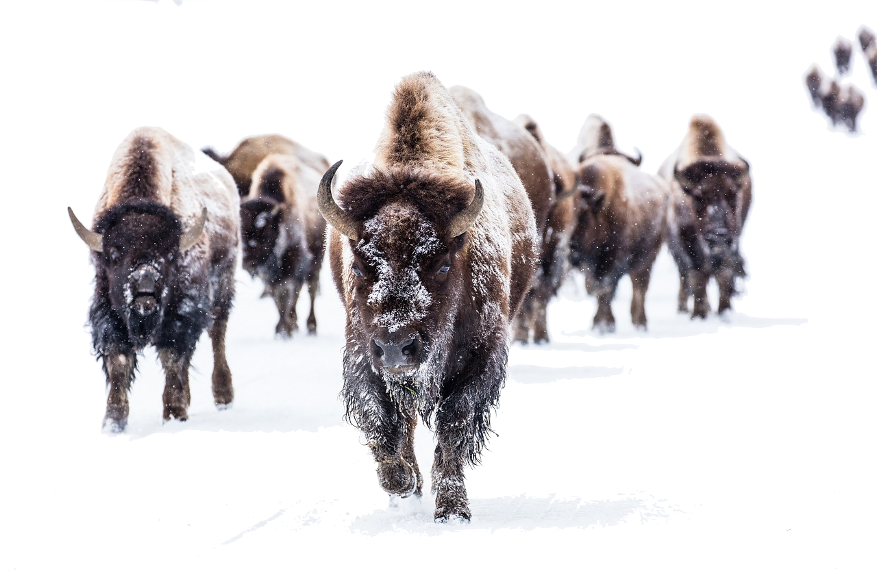 bison-2237654_1280.png