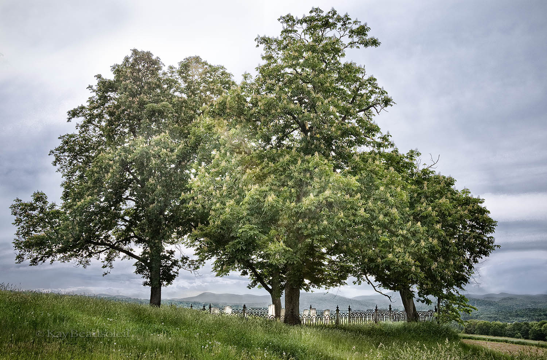 Lives of Trees:  TO SHADE A TINY GRAVEYARD