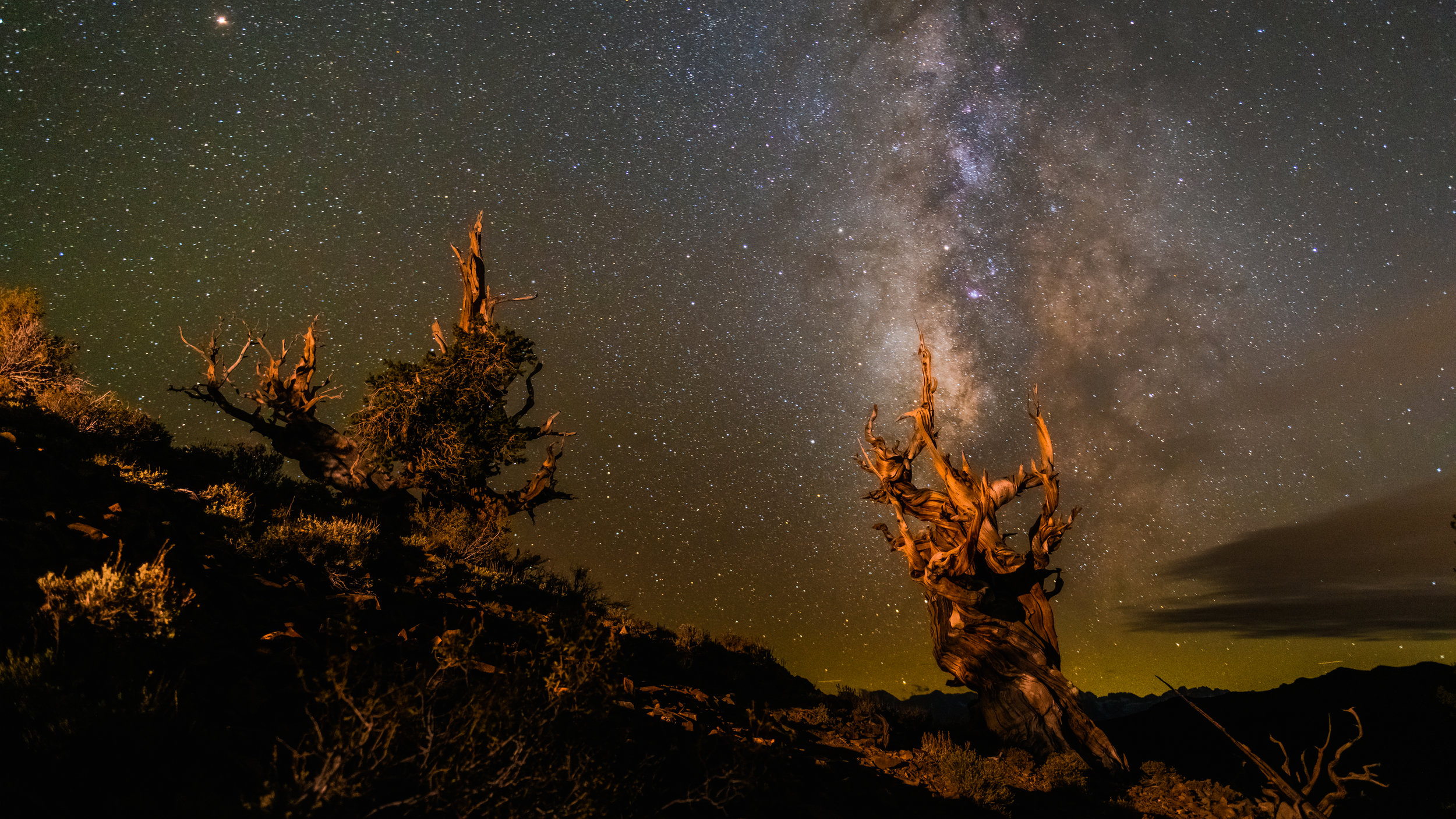 A pair of Brsitlecone Pines under starlight.