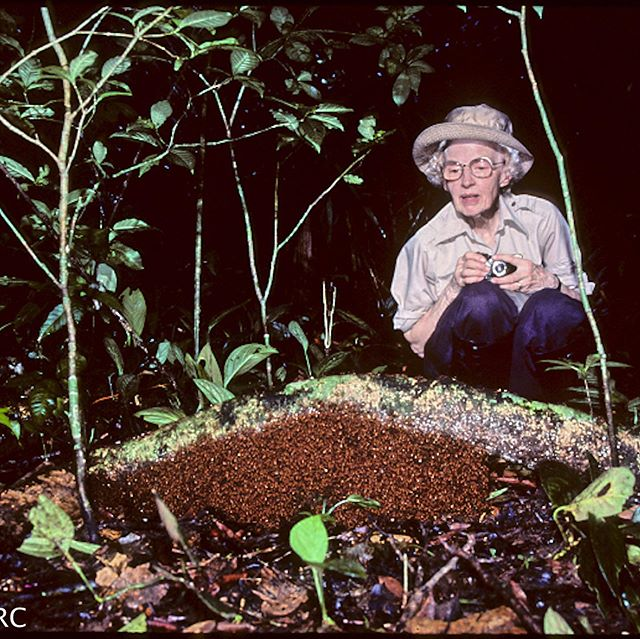 There's no place like home. Army ants live in colonies of hundreds of thousands of individuals. Their homes, also known as bivouacs, consist entirely of their own bodies linked together using claws at the ends of their legs. Here's Marian Rettenmeyer with a bivouac at her feet.  Photos courtesy of the UConn Biodiversity Research Collection  #thecolonyshow #antu #uconneeb #armyantguestcollection