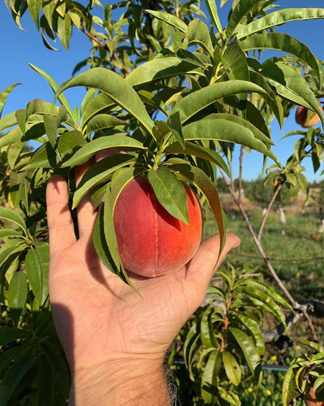 Ah, peaches! We are close, so very close, to enjoying them. We are patiently (not really!) awaiting their full ripening.  Stay tuned..
