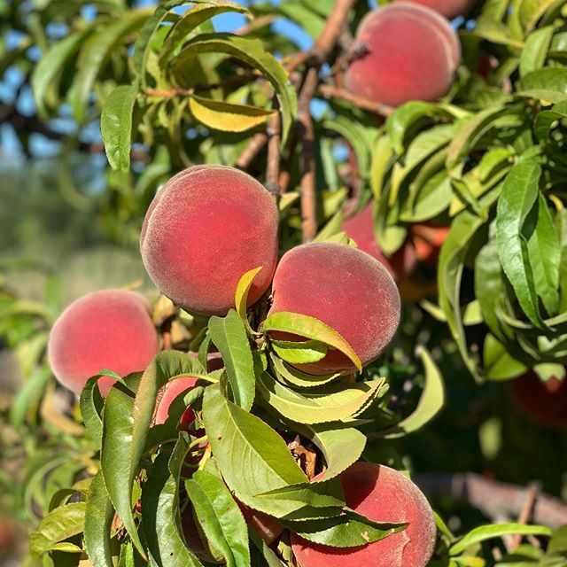 Alrighty folks!! It's peach time. We've been impatiently waiting and they've finally reached yumminess. Farm stand will open tomorrow. Got be us a call or text. Come pick up, or U-pick. We can deliver too. 530-867-0618. I'm planning on canning peach pie filling. Any great recipes out there? We'll also be drying a bunch. Look forward to seeing everyone!🍑🧡