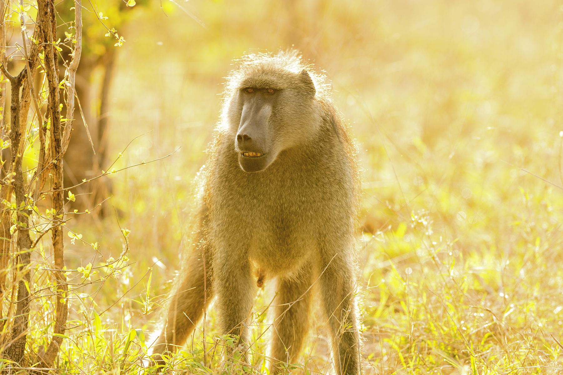 Often overlooked in the search for the famous Big Five. Stopping and spending time in the company of a troop of Cape Baboons may very well be the highlight of your day out in the bushveld.