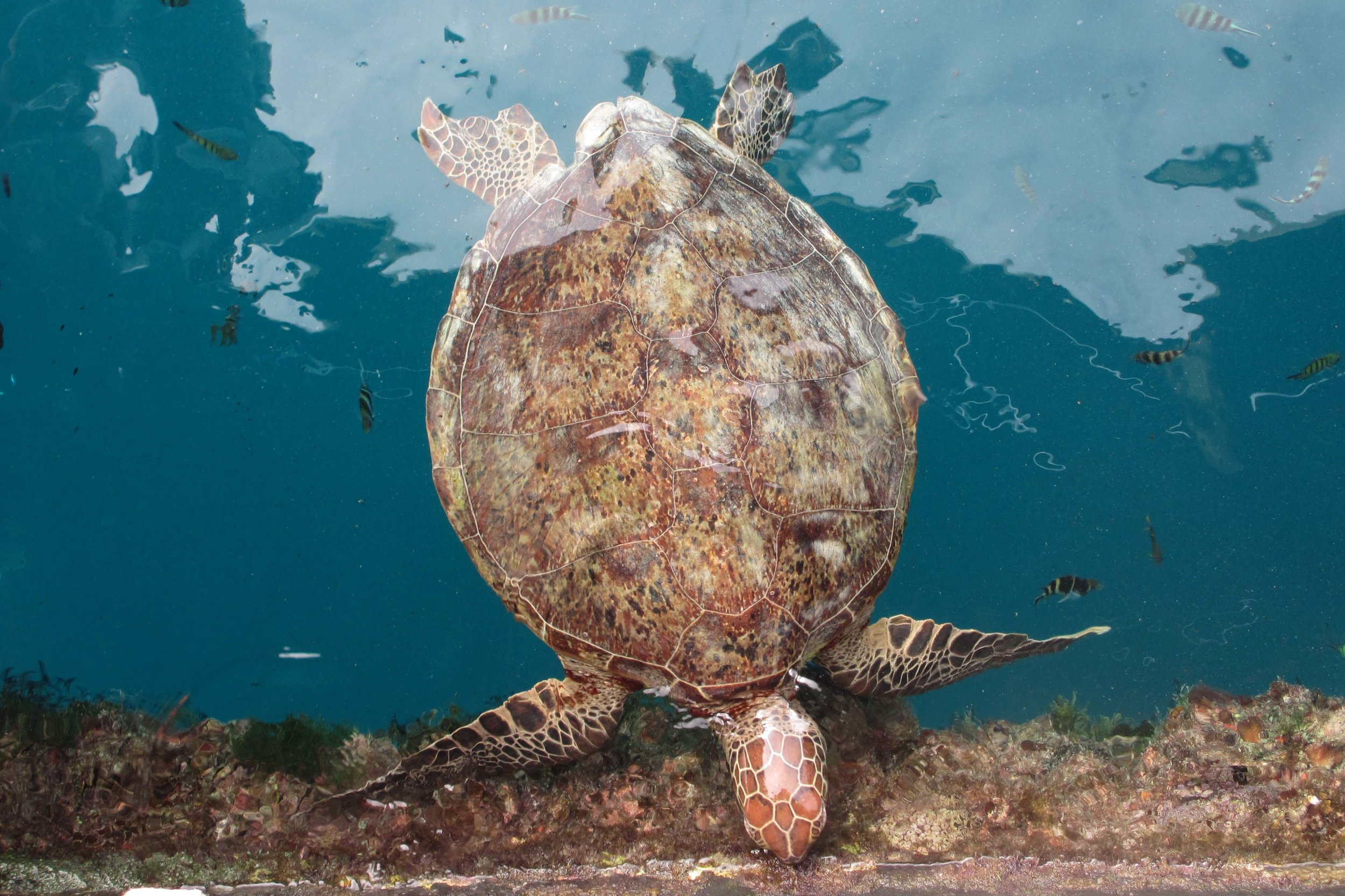 A green turtle snacks on the edge of the pontoon. Image by Sarah Reid ©