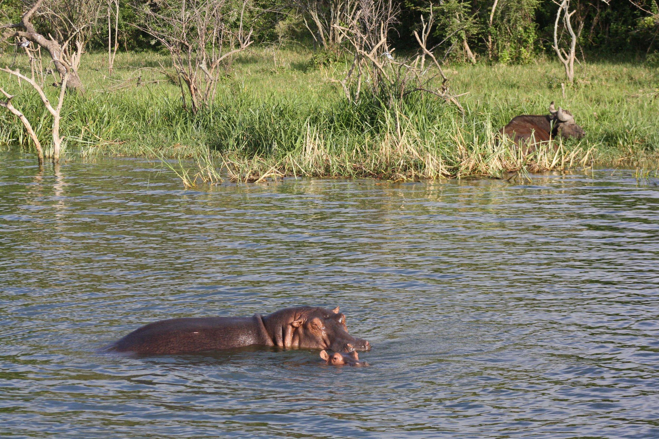 I saw loads of hippos in Queen Elizabeth National Park in Uganda © Sarah Reid