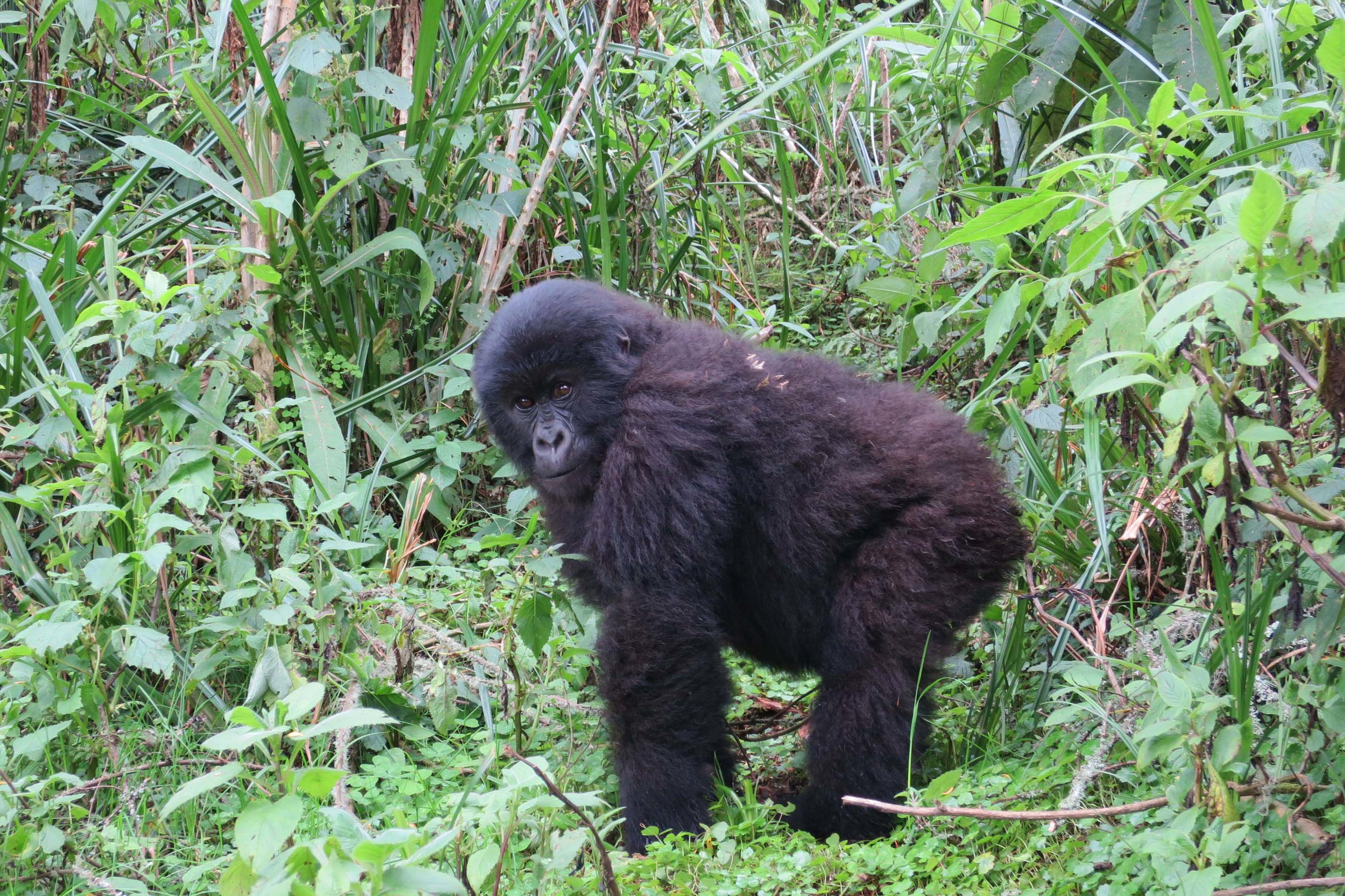 It was difficult to resist giving this cheeky young gorilla a big hug © Sarah Reid