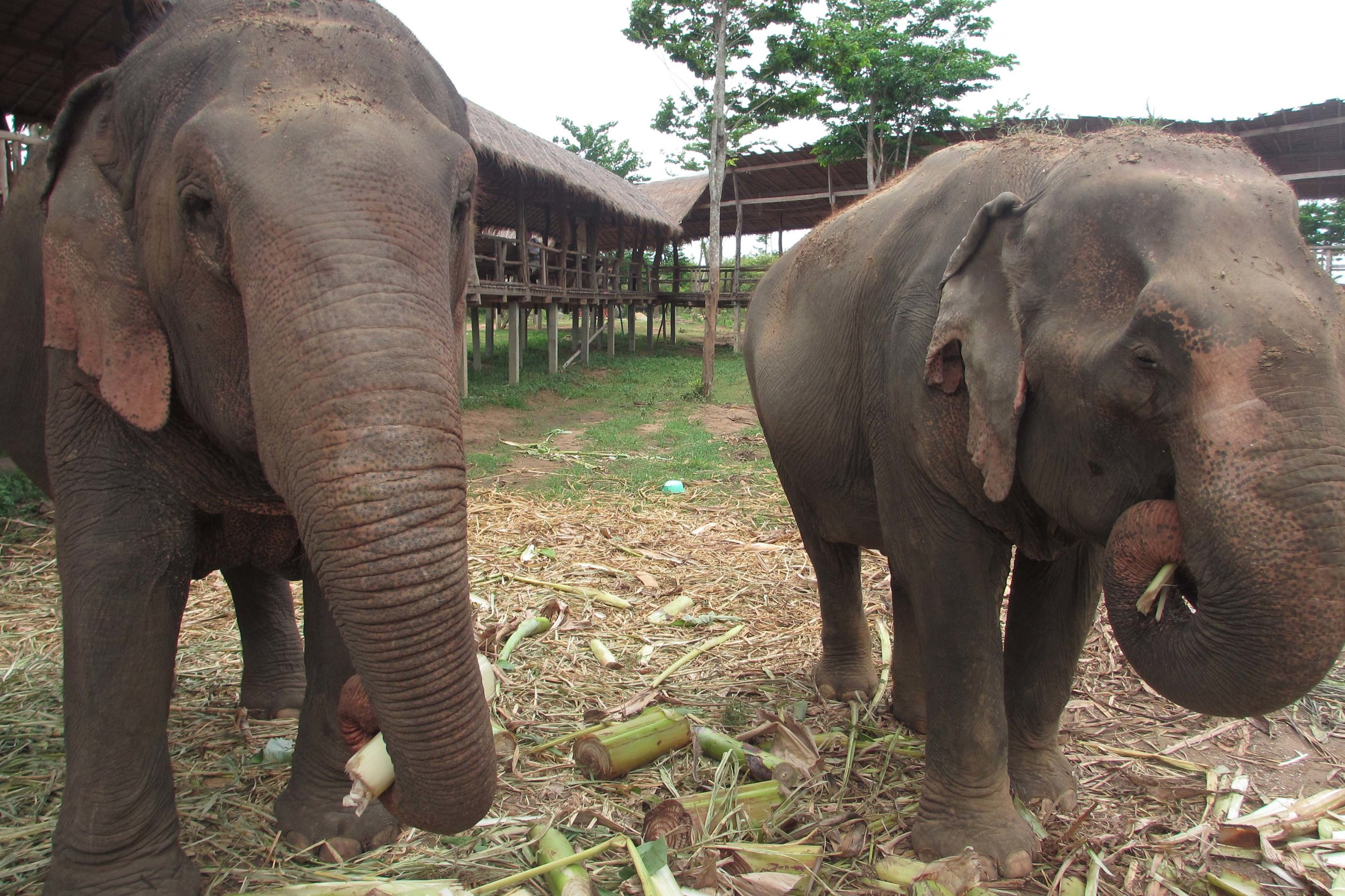 Retired working elephants at ElephantsWorld in Thailand enjoy a snack on sugar cane © Sarah Reid
