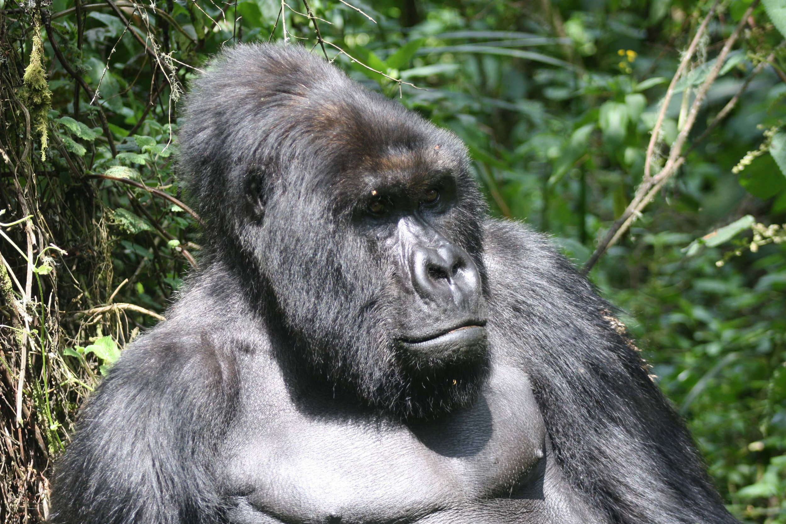 This enormous silverback kept a close eye on our group during our visit © Sarah Reid