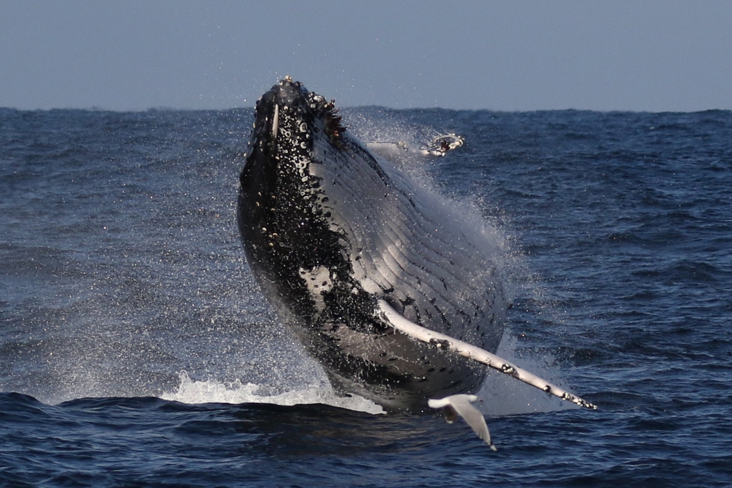 Sydney is blessed with amazing wildlife, like this humpback whale Rachelle snapped frolicking in Sydney waters © Rachelle Mackintosh