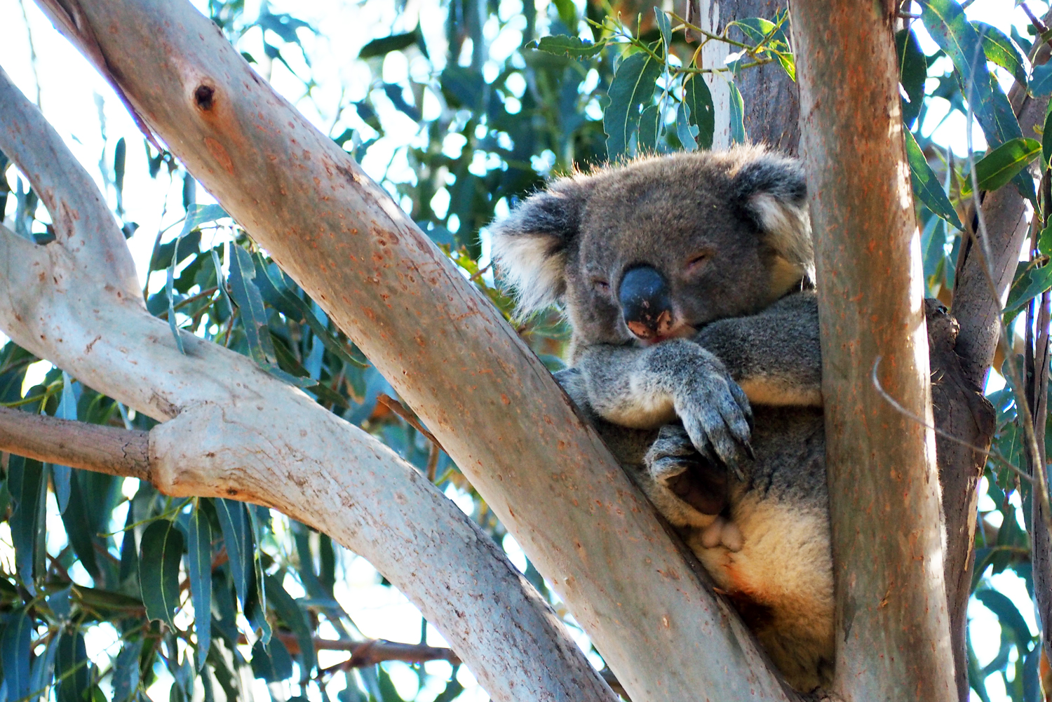 It's pretty much impossible not to see a koala in Flinders Chase National Park © Sarah Reid