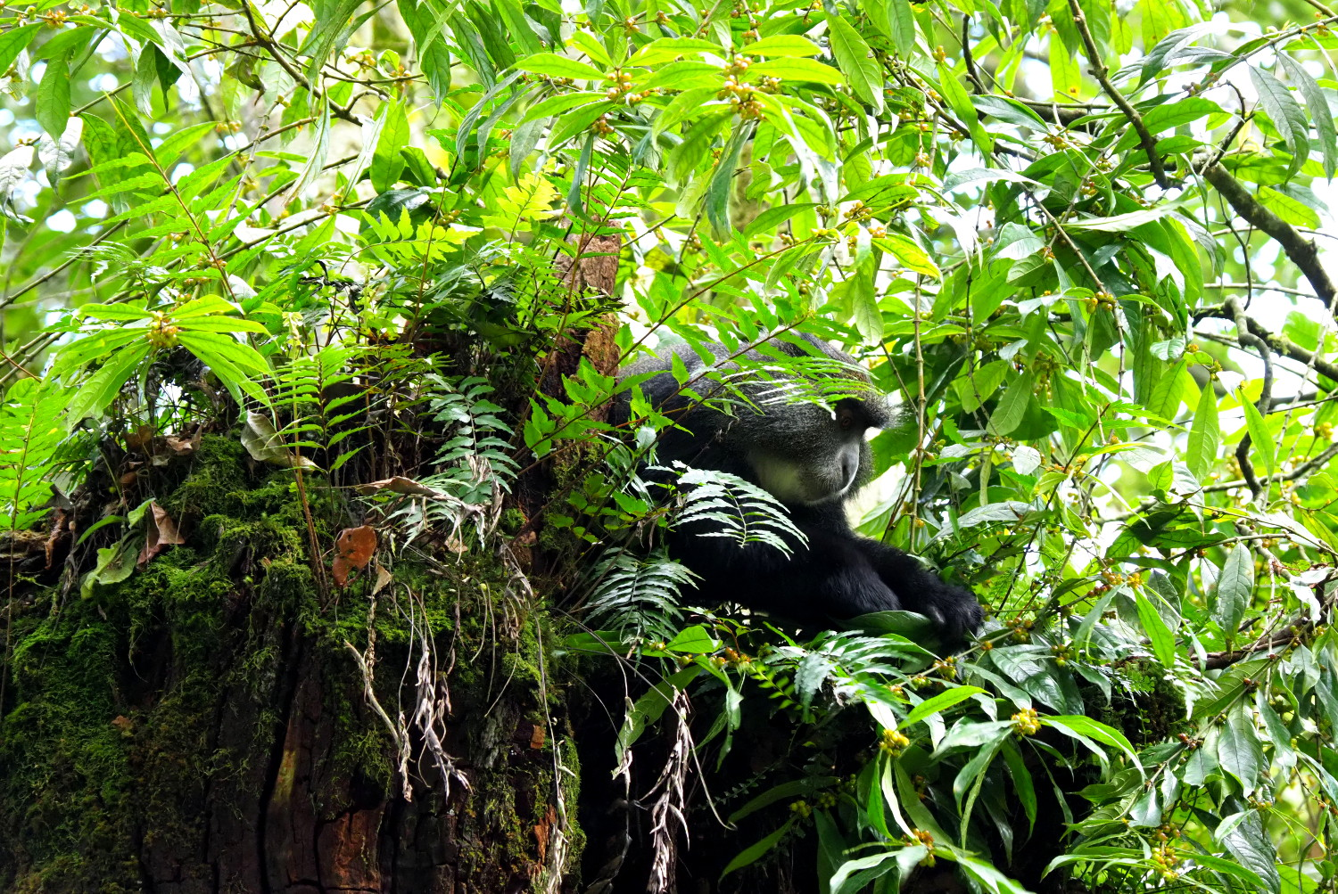 Keep your eyes peeled for wildlife, such as blue monkeys, en route to the summit © Sarah Reid