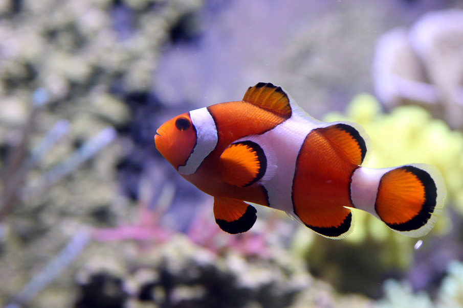 Clownfish are often spotted on dives in the Perhentian Islands. Image by  Bruce Tuten