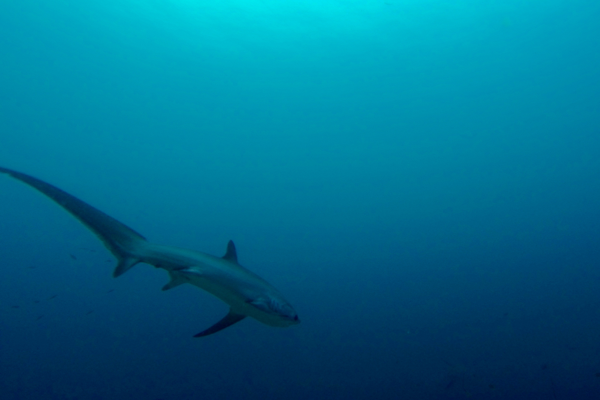 Spot rare thresher sharks on Malapascua's most famous dive. Image by  Maxime Guilbot