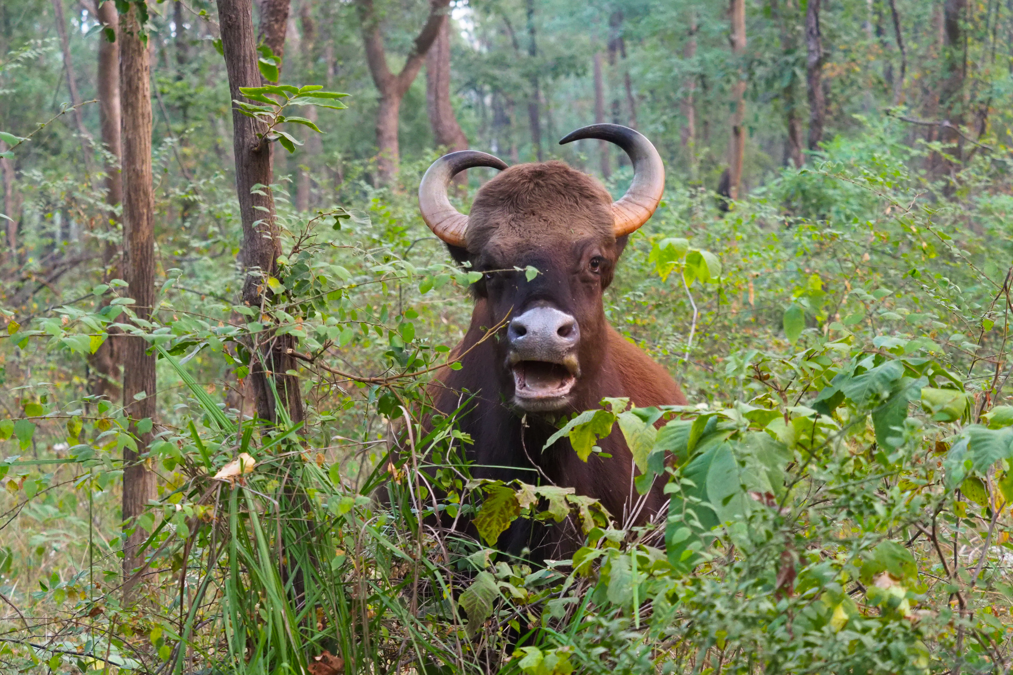 Also known as the Indian bison, gaur are a common sight in Satpura National Park @ Sarah Reid