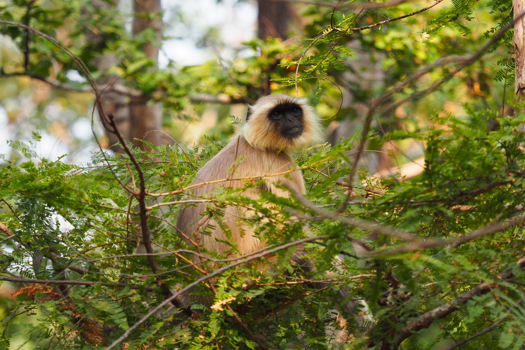 Langurs, langurs, everywhere © Sarah Reid