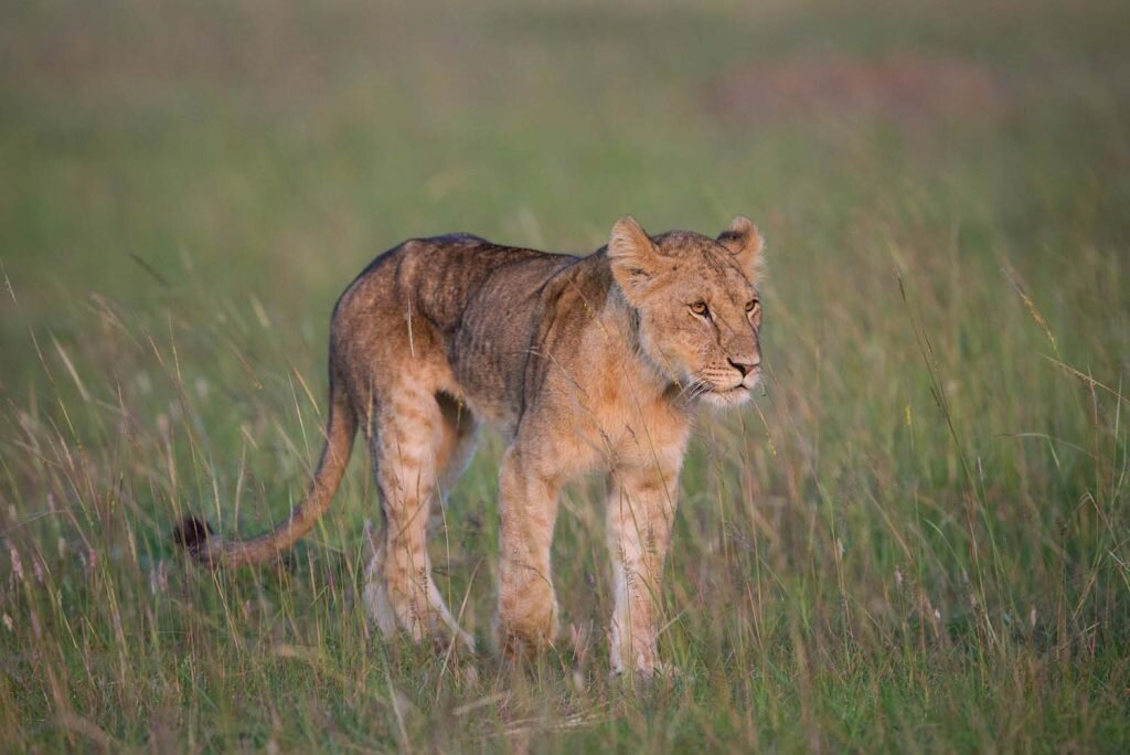 The wild: the best place to see lion cubs. Image by  Make it Kenya / Stuart Price