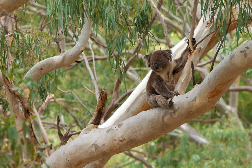 Koalas look cuter in the wild. Image by  Phil Long  /  Flickr