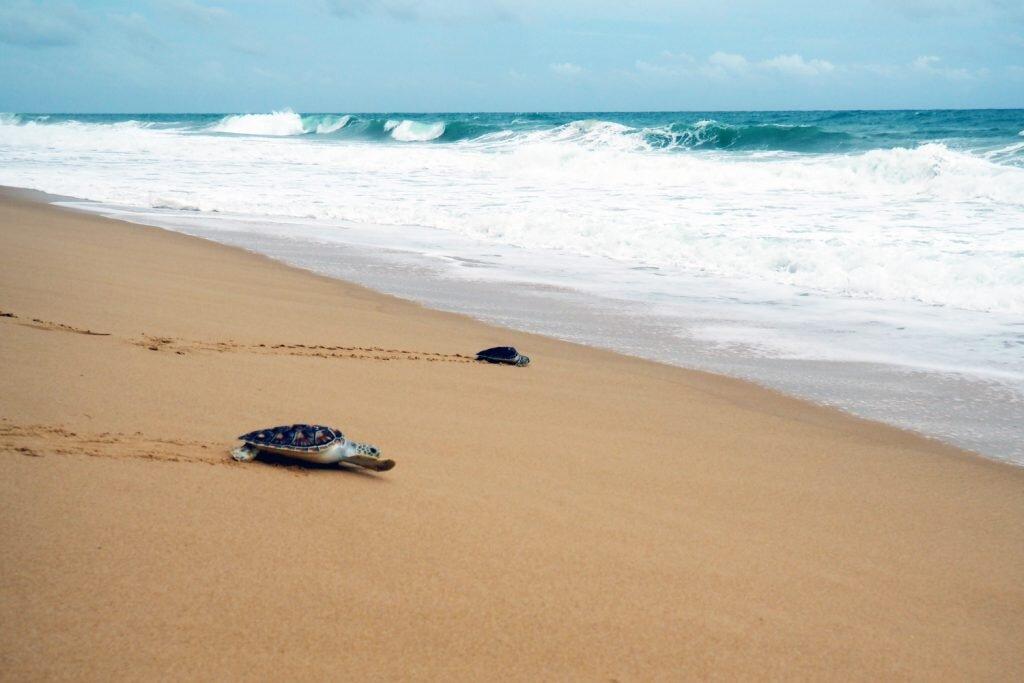 These rehabilitated turtles just wanna go home © Sarah Reid