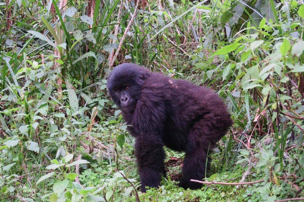 The world's last remaining mountain gorillas face an uphill battle for survival © Sarah Reid