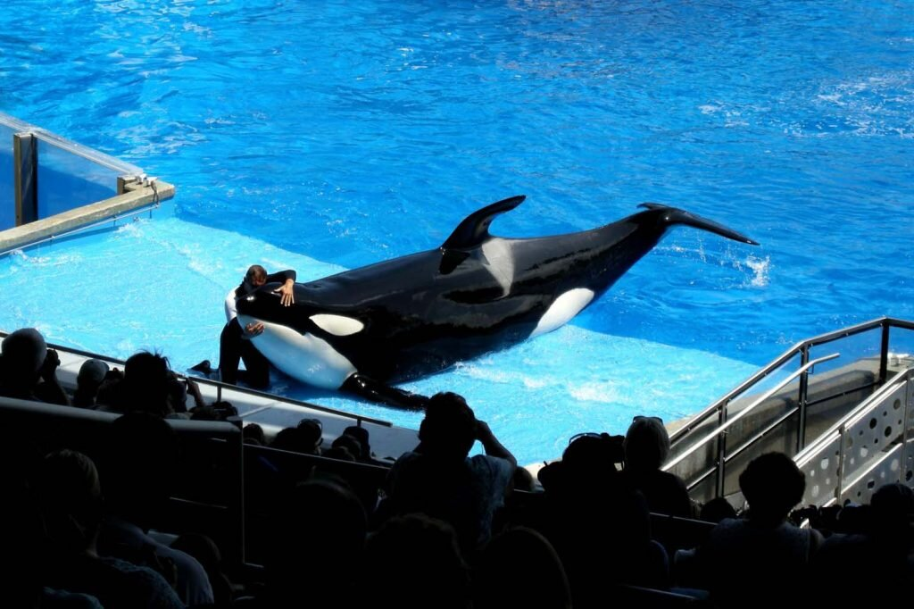 SeaWorld's orca shows will end in 2019. And amen to that. Image by Milan Boers /  Flickr  CC BY 2.0