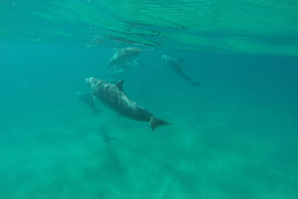 Byron Bay's bottlenose dolphins are a playful lot © Sarah Reid