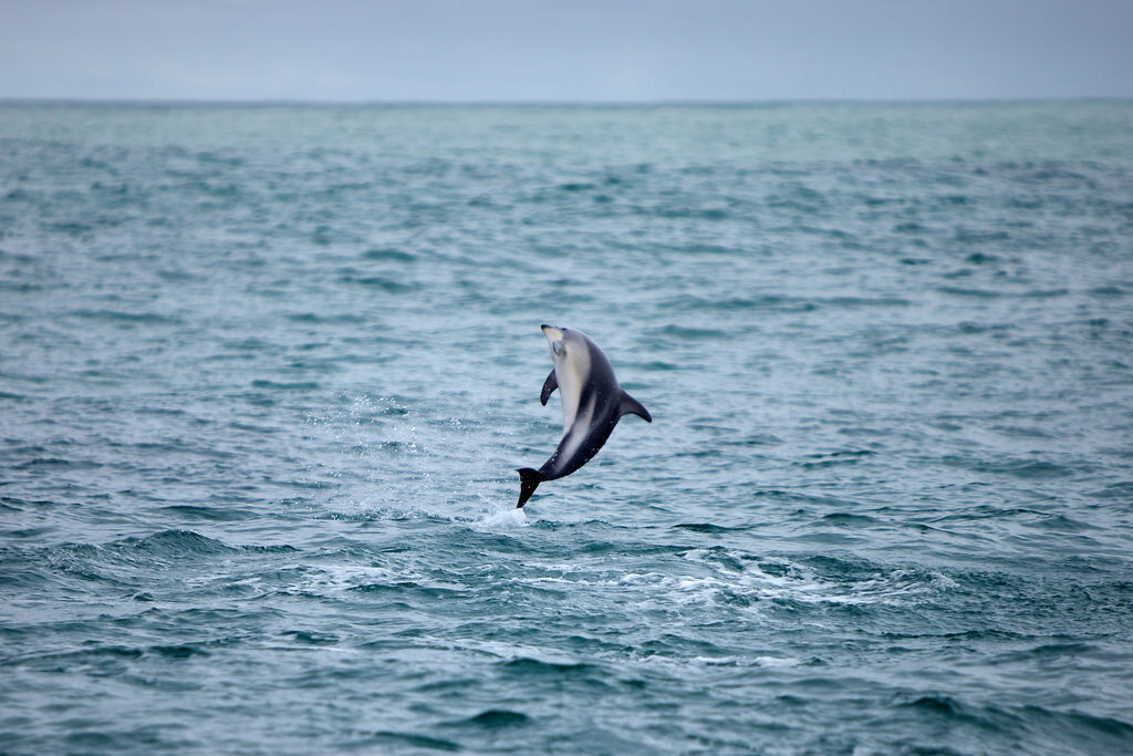 The dolphins of Kaikōura are known for their acrobatics. Image by  Tom Coates  / flickr