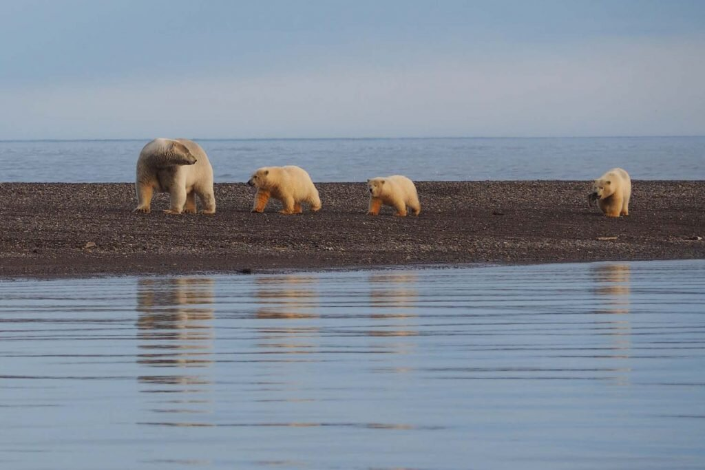 Cuteness overload: mama bear and her cubs on the move in Kaktovik © Sarah Reid