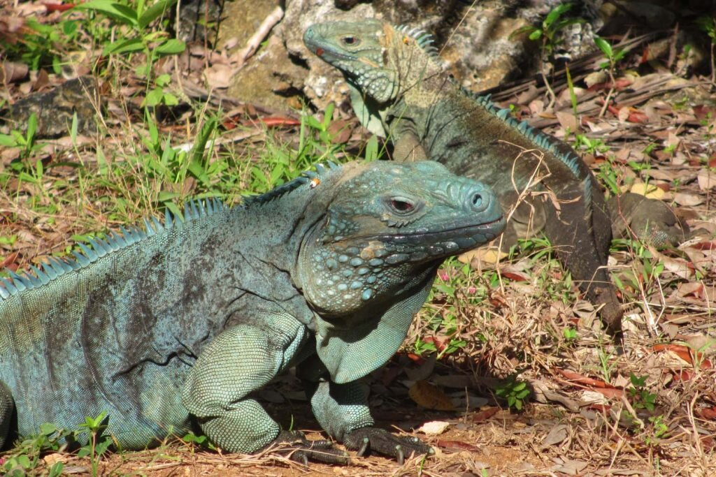 Foreign iguanas imported as pets almost wiped out the Cayman Islands' endemic blue iguanas, which are now being sustainably bred and released into the grounds of the QEII Botanic Park © Sarah Reid