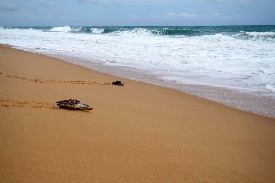 The Aleenta Phuket runs a turtle release program. Fun! © Sarah Reid