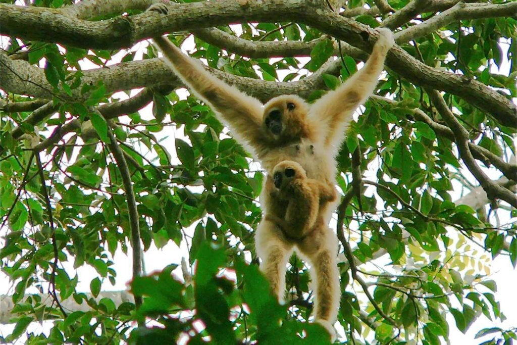 Cute baby gibbons like this fella belong with their mothers. In the wild. Image by  Bernard Dupont  / flickr