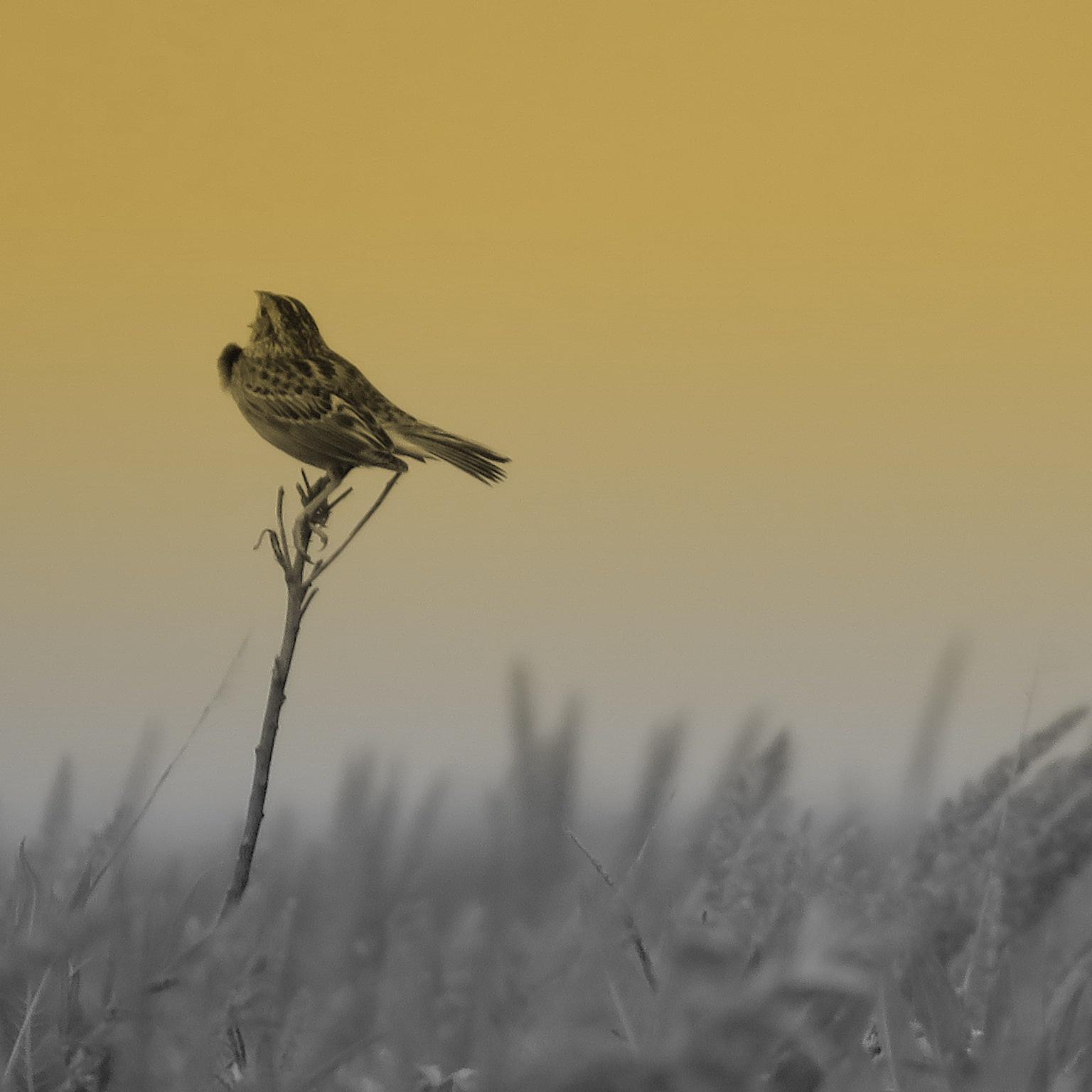 Grassland birds, especially songbirds -